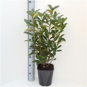 Prunus laurocerasus Genolia® C4.5   50 60cm   45gr   Meetlat