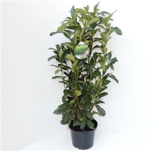 Prunus laurocerasus Genolia® C5   80 100cm   45gr   Etiket