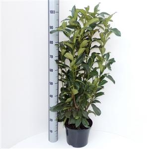 Prunus laurocerasus Genolia® C5   80 100cm   45gr   Meetlat