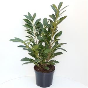 Prunus laurocerasus Greenpeace C7.5   60 70cm   45gr