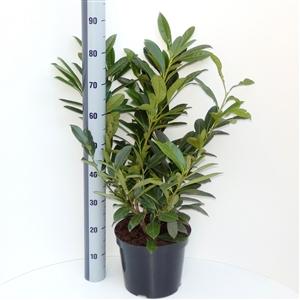 Prunus laurocerasus Greenpeace C7.5   60 80cm   45gr   Meetlat