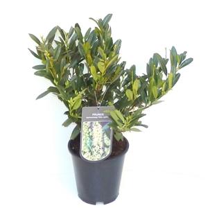 Prunus laurocerasus Otto Luyken C3   30 40cm   45gr   Etiket
