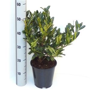Prunus laurocerasus Otto Luyken C3   30 40cm   45gr   Meetlat
