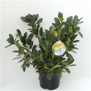 Prunus laurocerasus Titan C5   50 60cm   45gr   Etiket