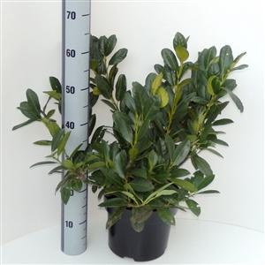 Prunus laurocerasus Titan C5   50 60cm   45gr   Meetlat