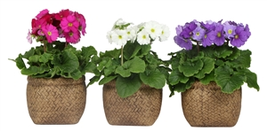 Primula mix in canvas bag