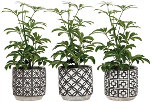 Schefflera 9 cm in retro pot black