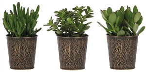 Little Lizard Greens Succulents mix 9cm in Zinc pot black