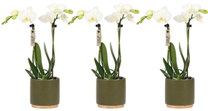 Little Kolibri Orchids 2 spike in gold foot pot green CMYK