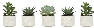 Little Lizard Greens succulent 6cm mix in twig pot white