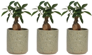 ficus 9 cm in twig pot green