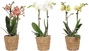 Little Kolibri Orchids 2 spike mix in Reed basket CMYK