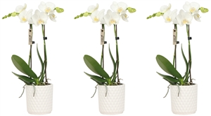 Little Kolibri Orchids 2 spike white in diamond pot white CMYK