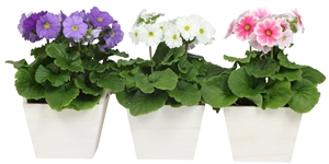 Primula mix in wooden square white