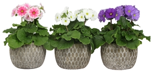 Primula mix in Marrakesh grey