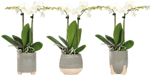 Little Kolibri Orchids 2 spike white in desert mix green