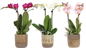 Little Kolibri Orchids 2 spike mix in ethnic pot