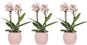 Little Kolibri Orchids 2 spike pink in pineapple pot pink CMYK