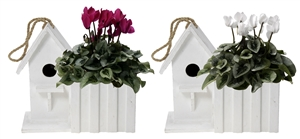 Cyclamen in Birdhouse White
