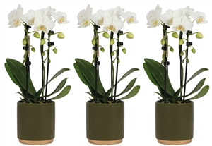 Little Kolibri Orchids Fountain in gold foot pot green