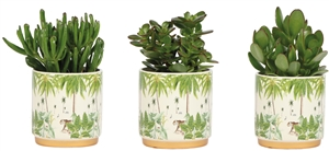Little Lizard Greens succulents in jungle pot