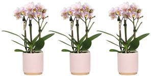 Little Kolibri Orchids 3 spike pink in gold foot pot pink