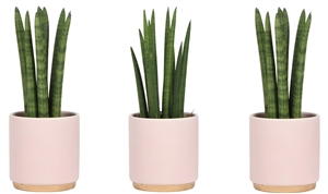 Little Lizard Greens Sanseviera High 9cm in gold foot pot pink