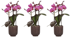 Little Kolibri Orchids 3 spike violet in Herringbone pot purple