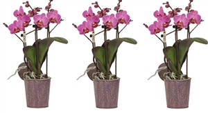Little Kolibri Orchids 3 spike Violet in Zinc pot violet