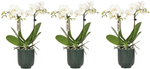 Little Kolibri Orchids 2 spike white in Herringbone pot green