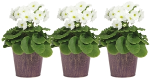 Primula white in zinc pot violet