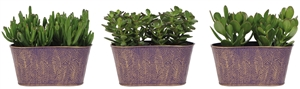 Little Lizard Greens succulents 9cm in zinc pot violet twins
