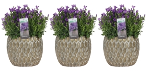 Campanula addenda in marrakesh grey