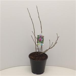 Magnolia 'George Henry Kern' C3 30 40cm   45gr   Etiket