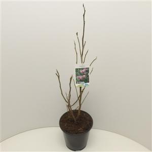 Magnolia 'Susan' C3 30 40cm   45gr   Etiket