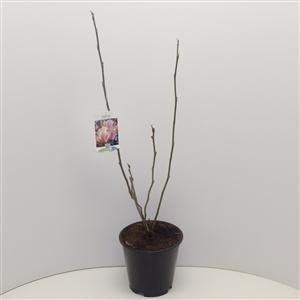 Magnolia x soulangeana C3 40 50cm   45gr   Etiket