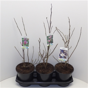 Magnolia mix C3 30 40cm   fust 810 x3  45gr   Etiket