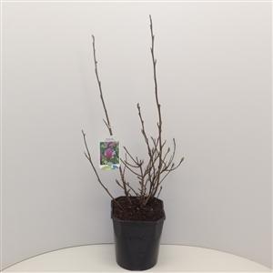 Magnolia 'George Henry Kern' C5 40 50cm   45gr   Etiket