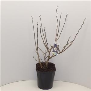 Magnolia stellata C5 40 50cm   45gr   Etiket