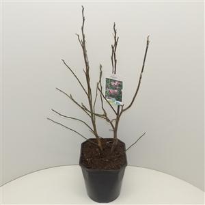 Magnolia 'Susan' C5 40 50cm   45gr.   etiket