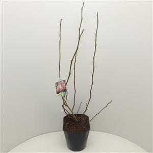 Magnolia x soulangeana C5 50 60cm   45gr   Etiket