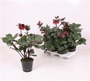 Ice n roses Barolo 13 1