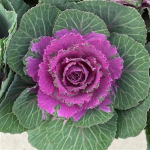 Historie pagina Brassica Snijbloem