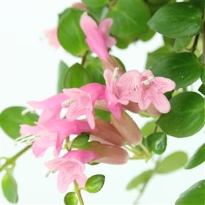 Pink Polka bloem