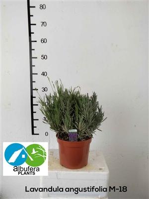 Lavandula angustifolia M 18 W20
