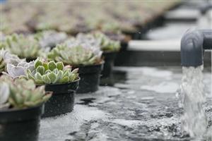 watergeven ovata pure succulents echeveria LR