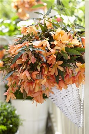 02 1 Begonia Beauvillea orange P05218 BEEK w26 J19809 rr 7093