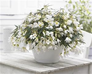 Begonia Beauvilia White P04484 BEEK w18 J15943 rr 152488