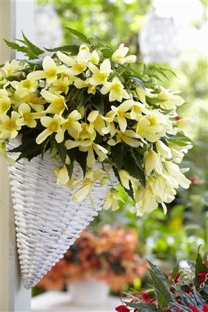 03 1 Begonia Beauvillea yellow P05218 BEEK w26 J19809 rr 7038