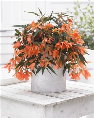 Begonia Beauvilia Salmon P04484 BEEK w18 J15943 rr 152494